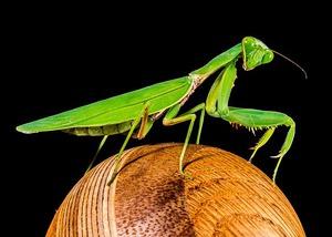 Why the Praying Mantis Still Shakes