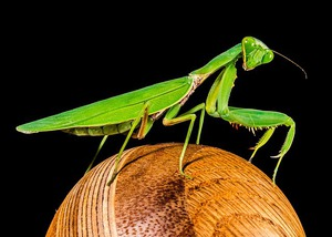 Why the Praying Mantis Still Shakes